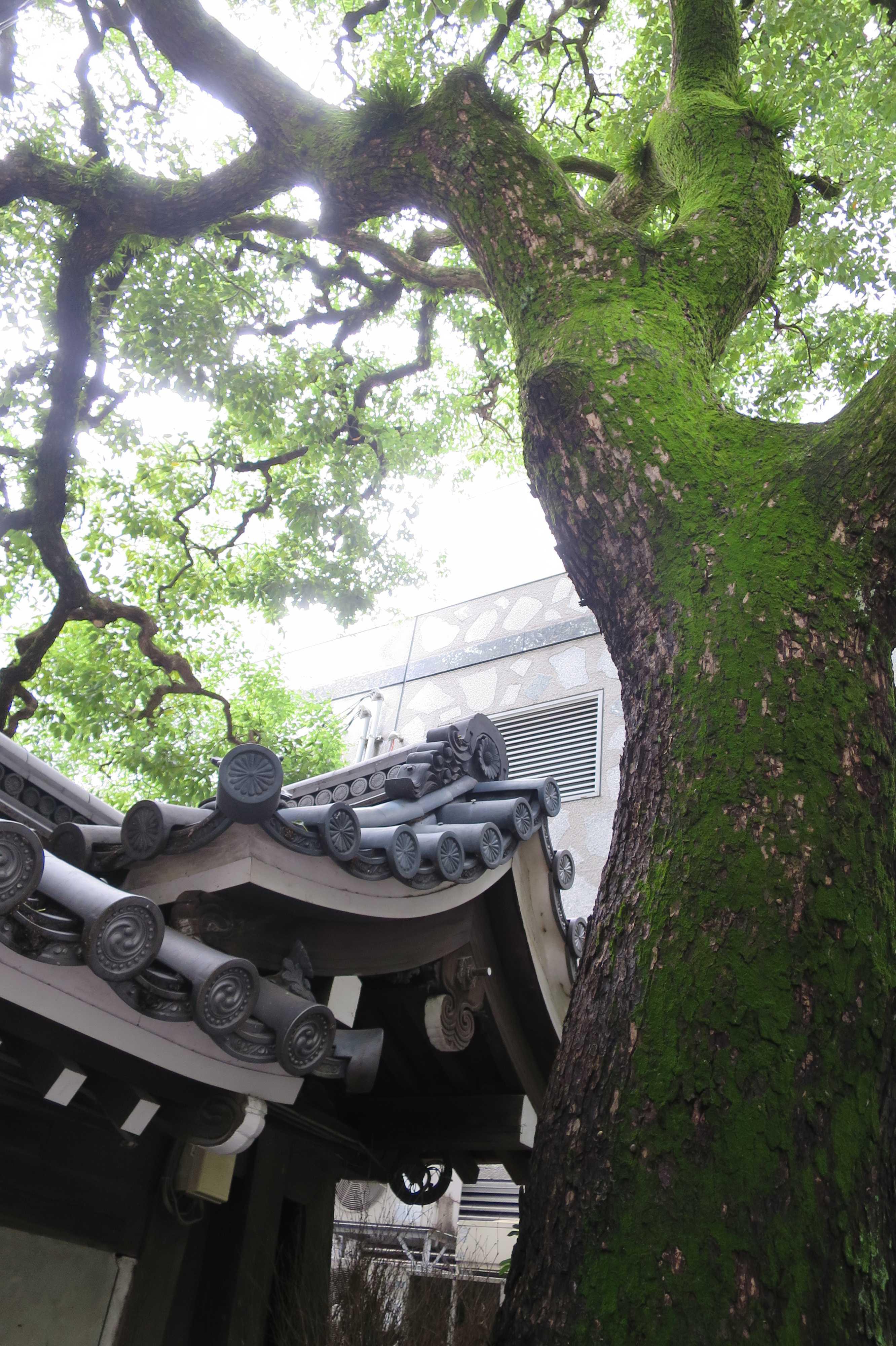京都・六角堂 - 山門脇の 「クスノキ」