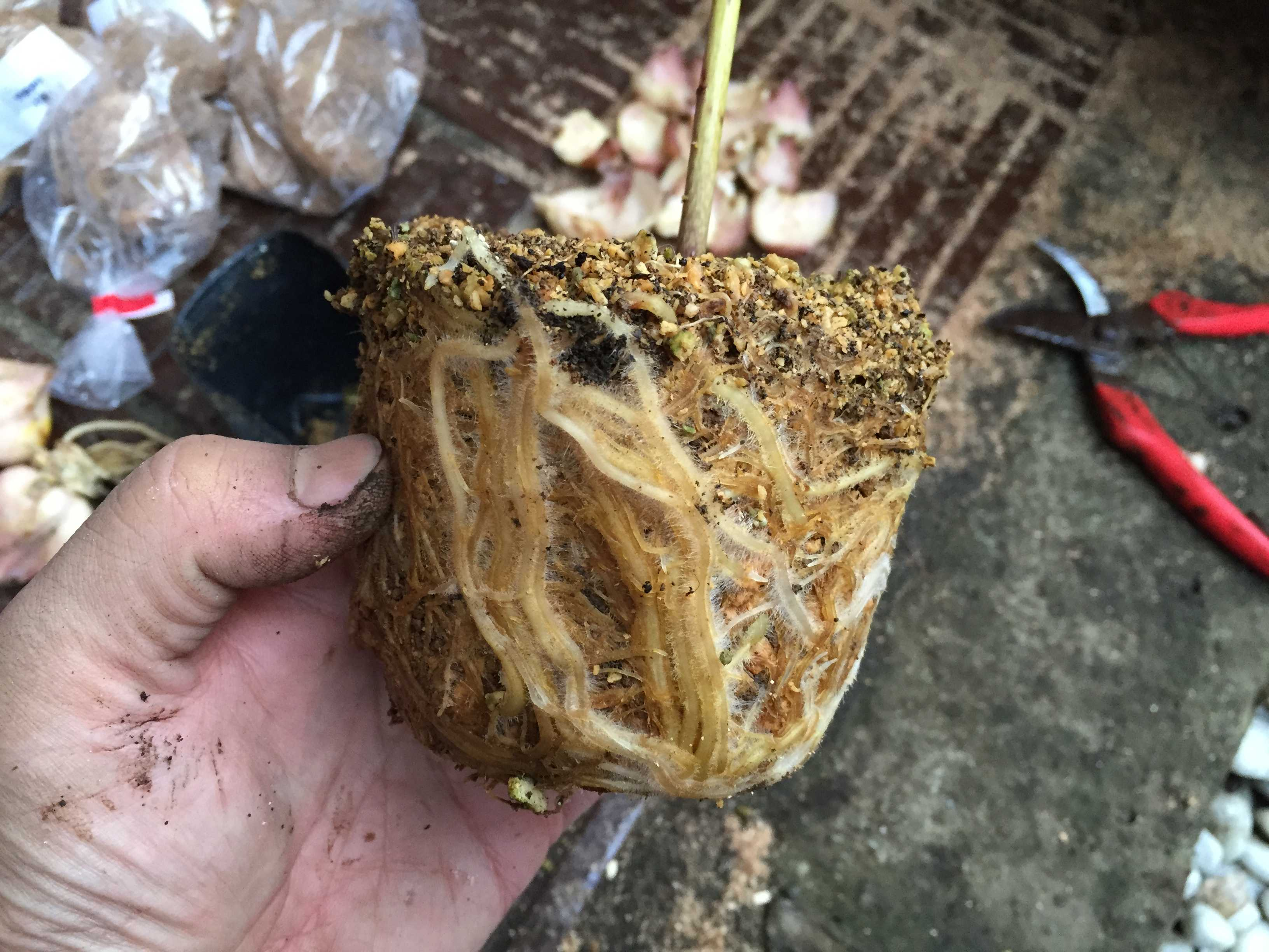 ヤマユリの鱗片定植 - ポット