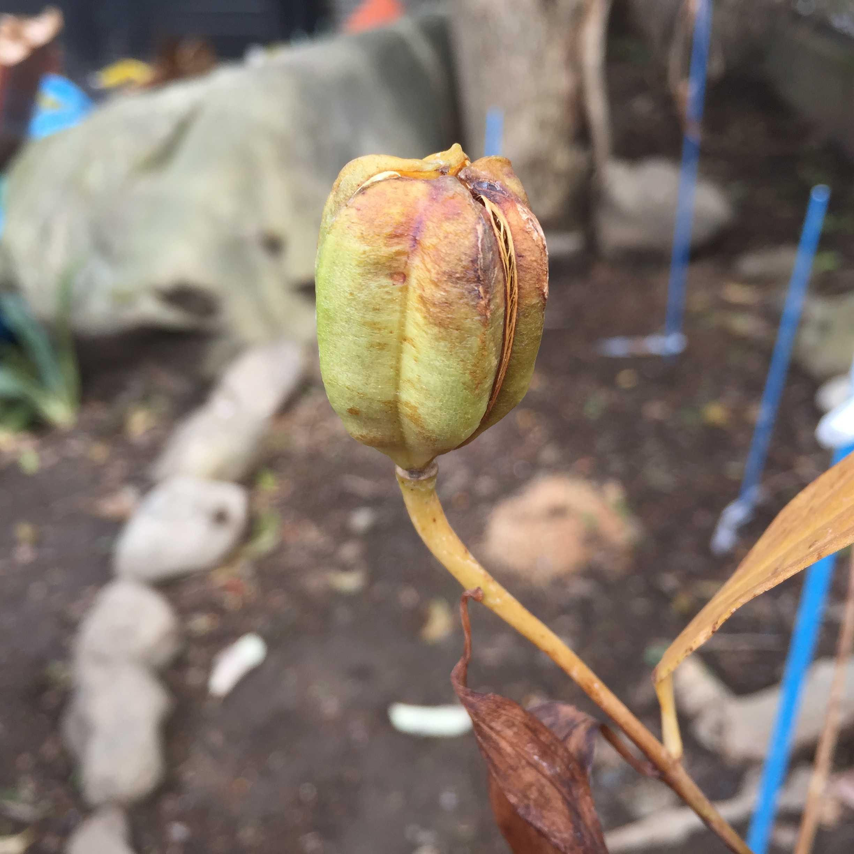 ヤマユリの種子繁殖/実生 - 割れる寸前の筋が入っている朔(サク)