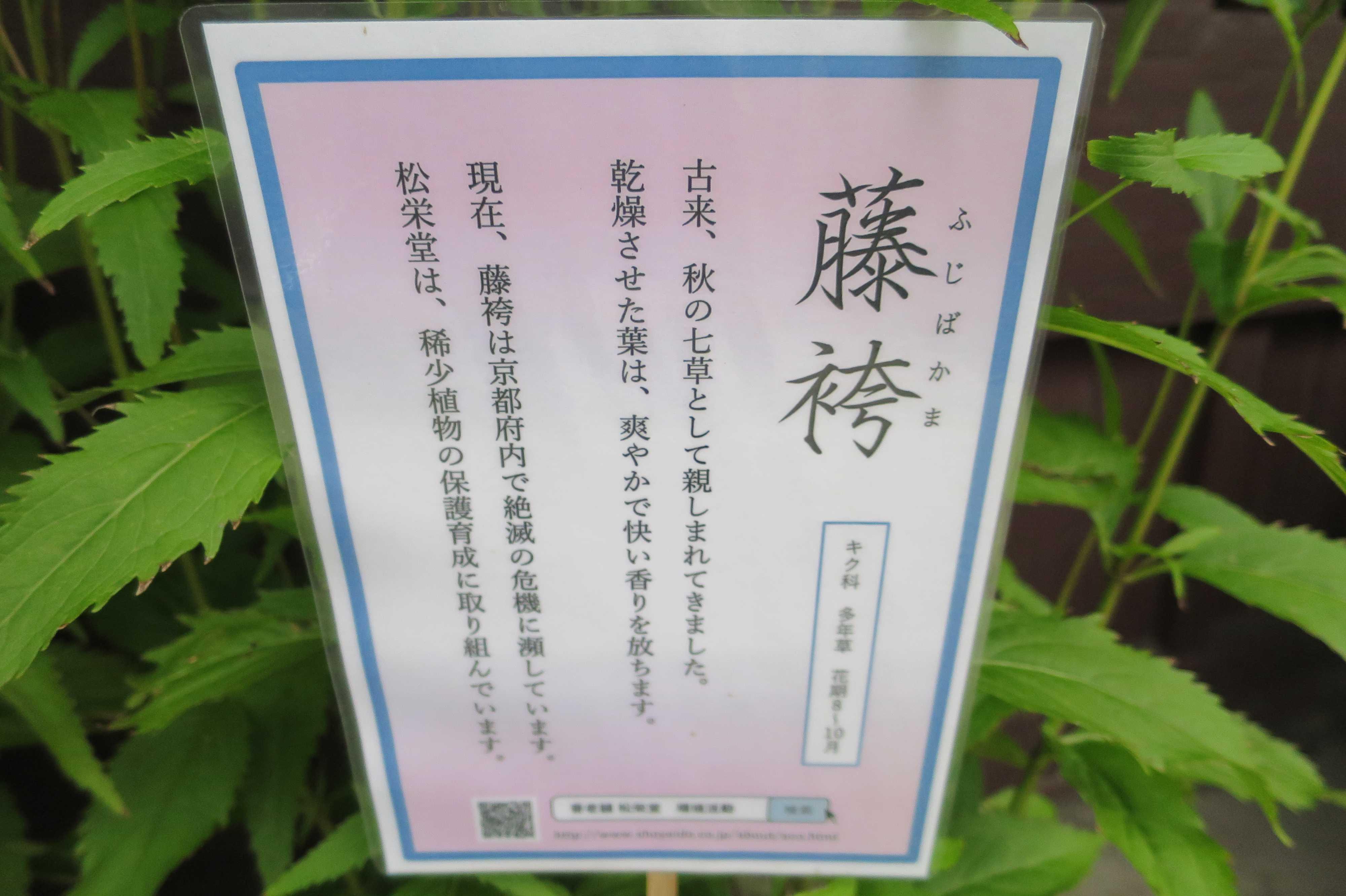 京都府内で絶滅の危機に瀕している「藤袴(ふじばかま)」
