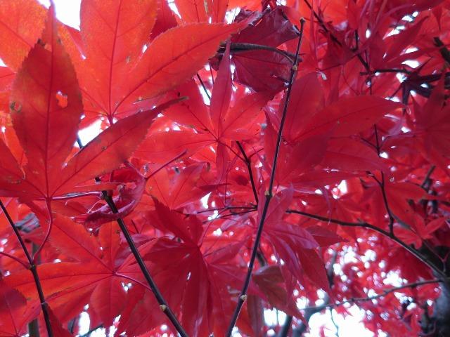 赤く染まる紅葉
