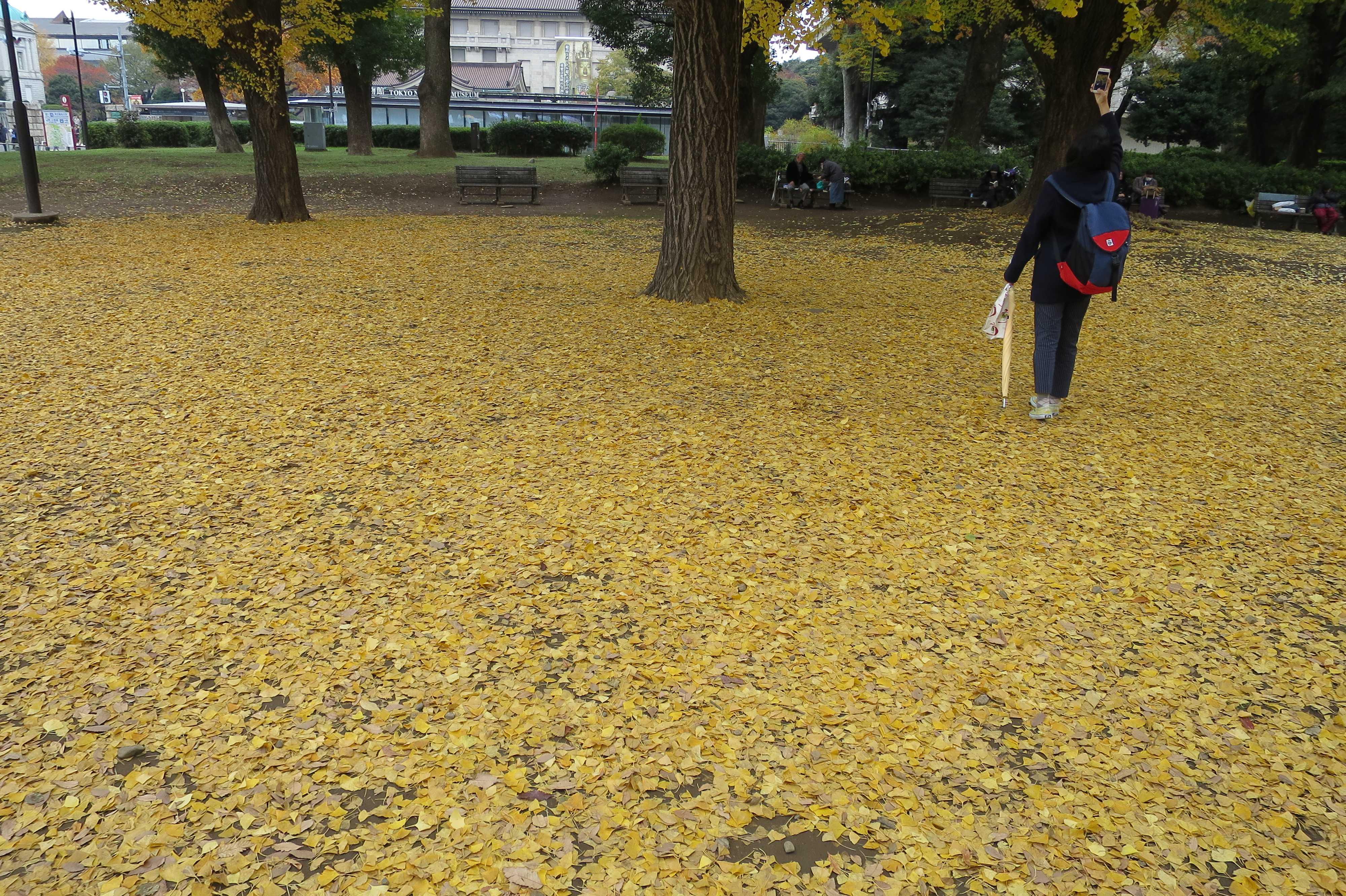 上野公園のイチョウ