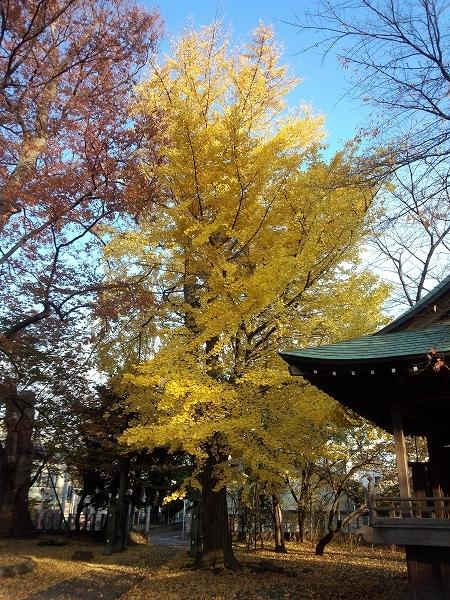北野神社(北野天満社)のいちょう