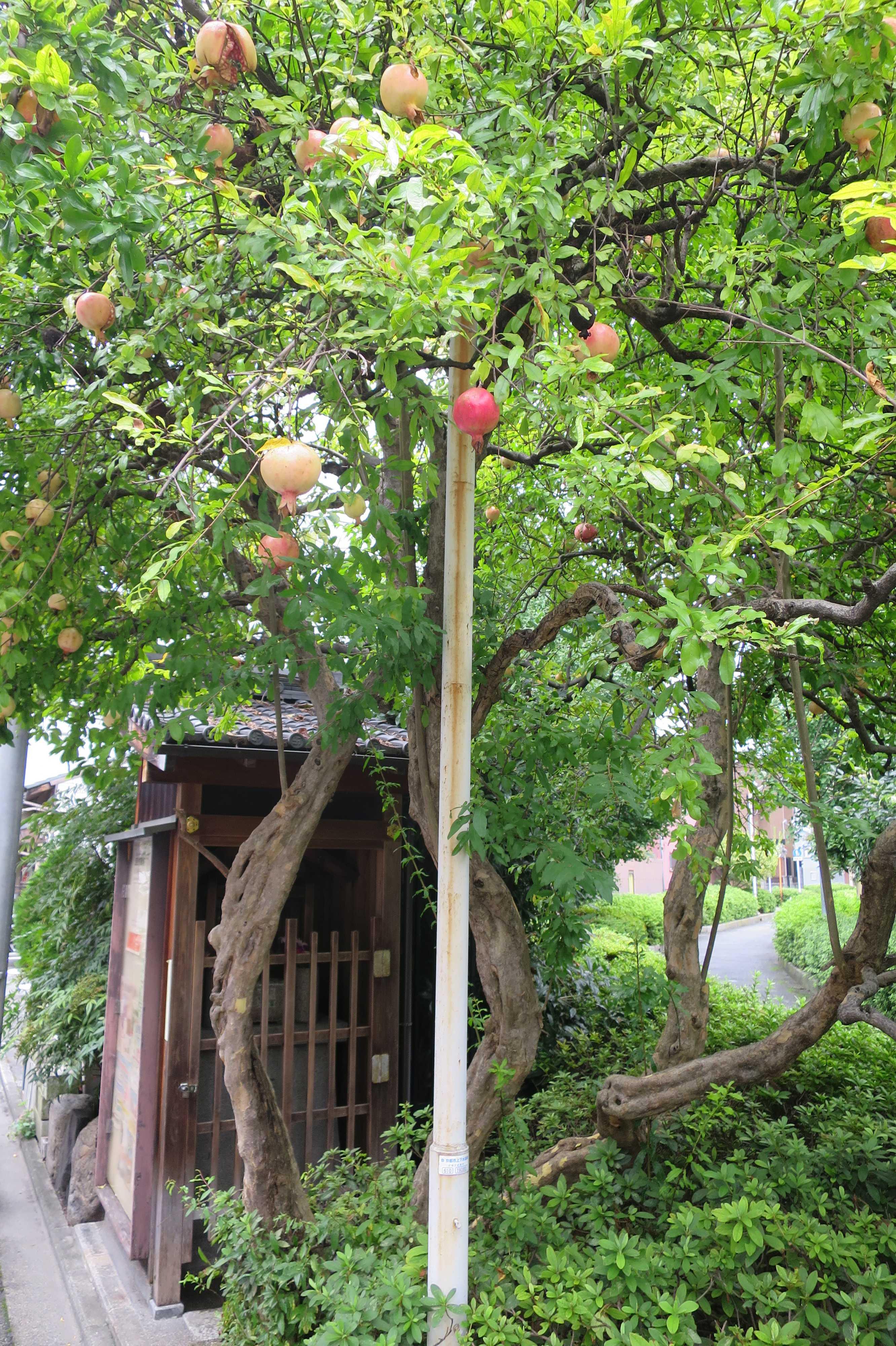京都のザクロの木