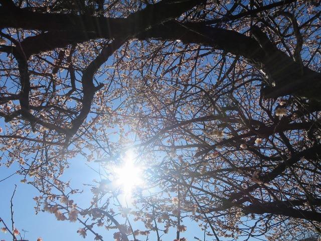 下から見た梅の木
