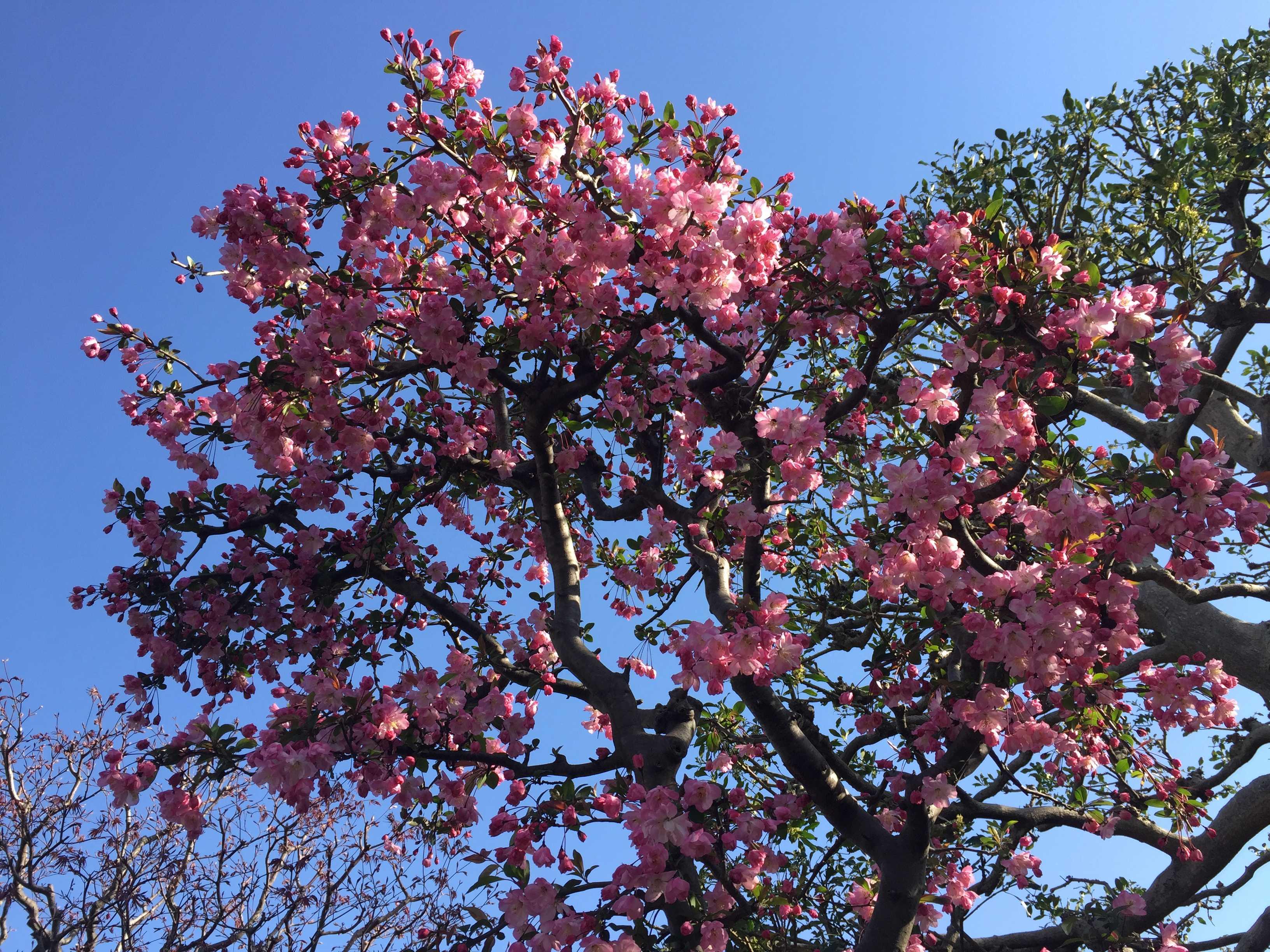 ハナカイドウの木