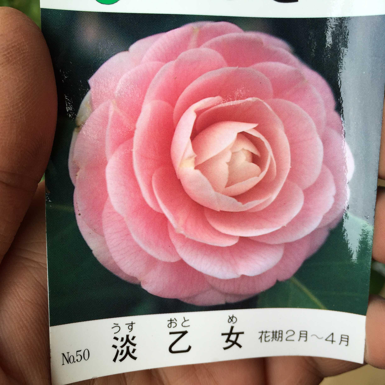 淡乙女/乙女椿の淡桃色の花