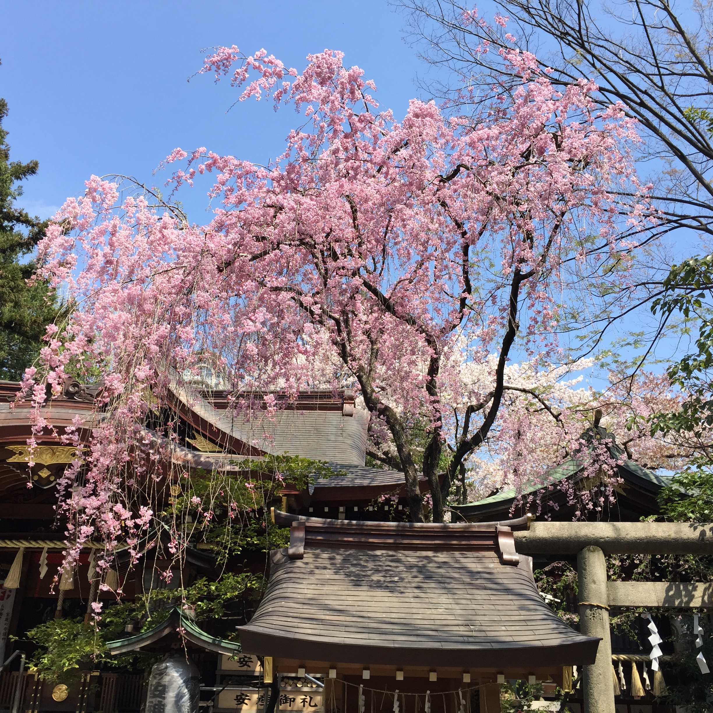子安神社(東京・八王子)の左近桜