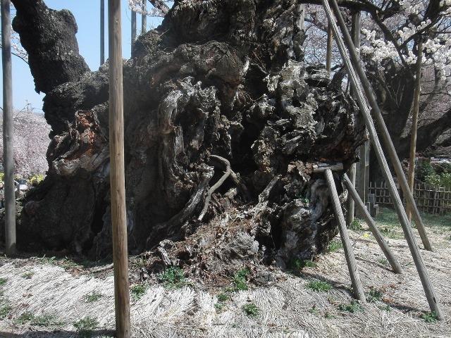 山高神代桜の幹