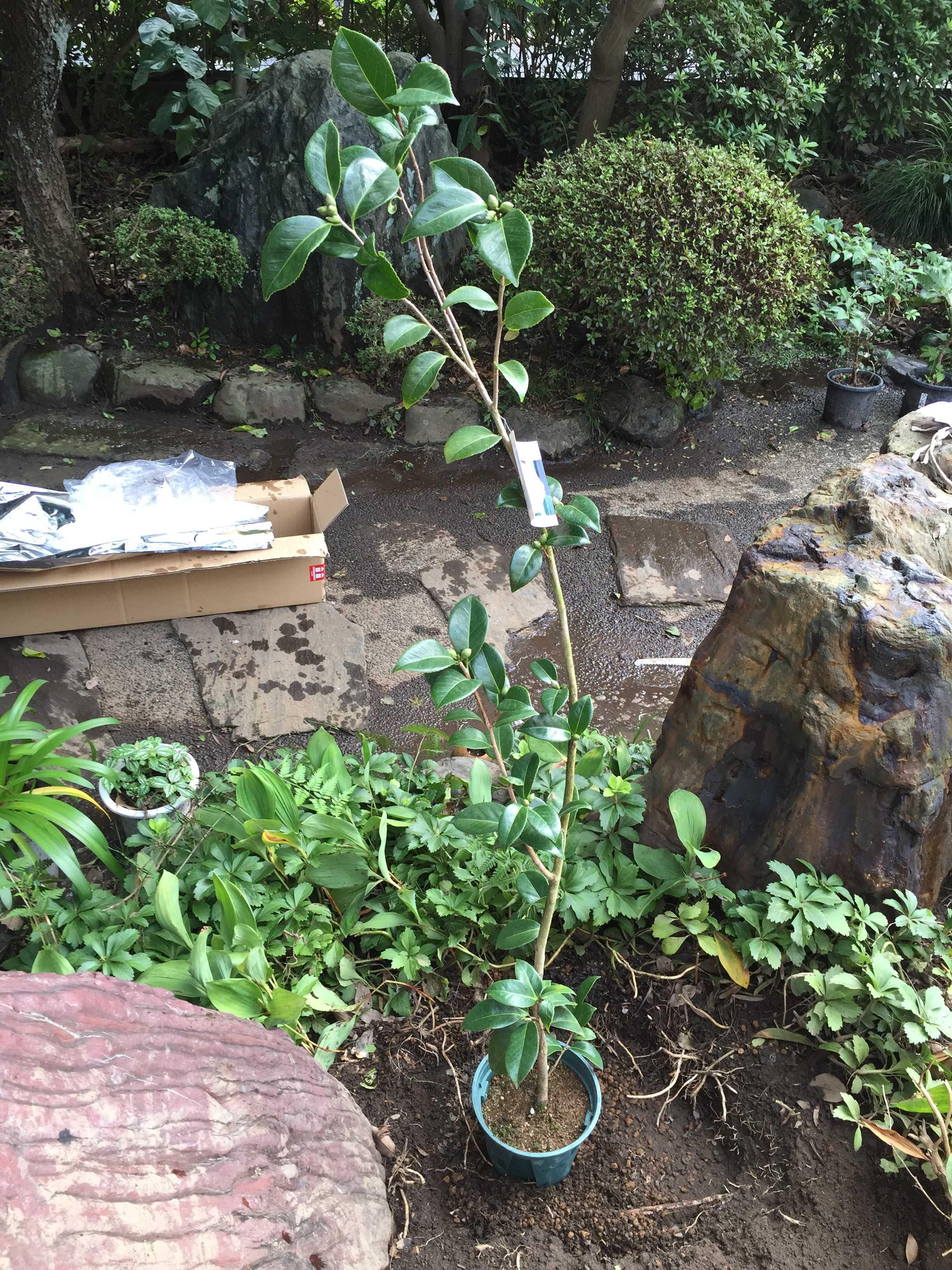 ポット植え(鉢植え)の乙女椿の苗木
