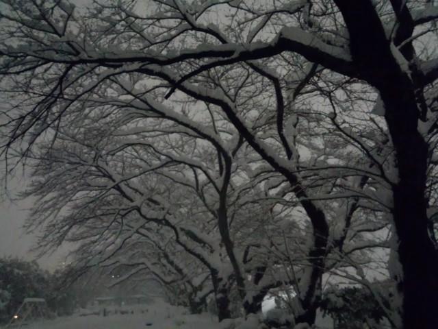 元横山公園の桜(サクラ)