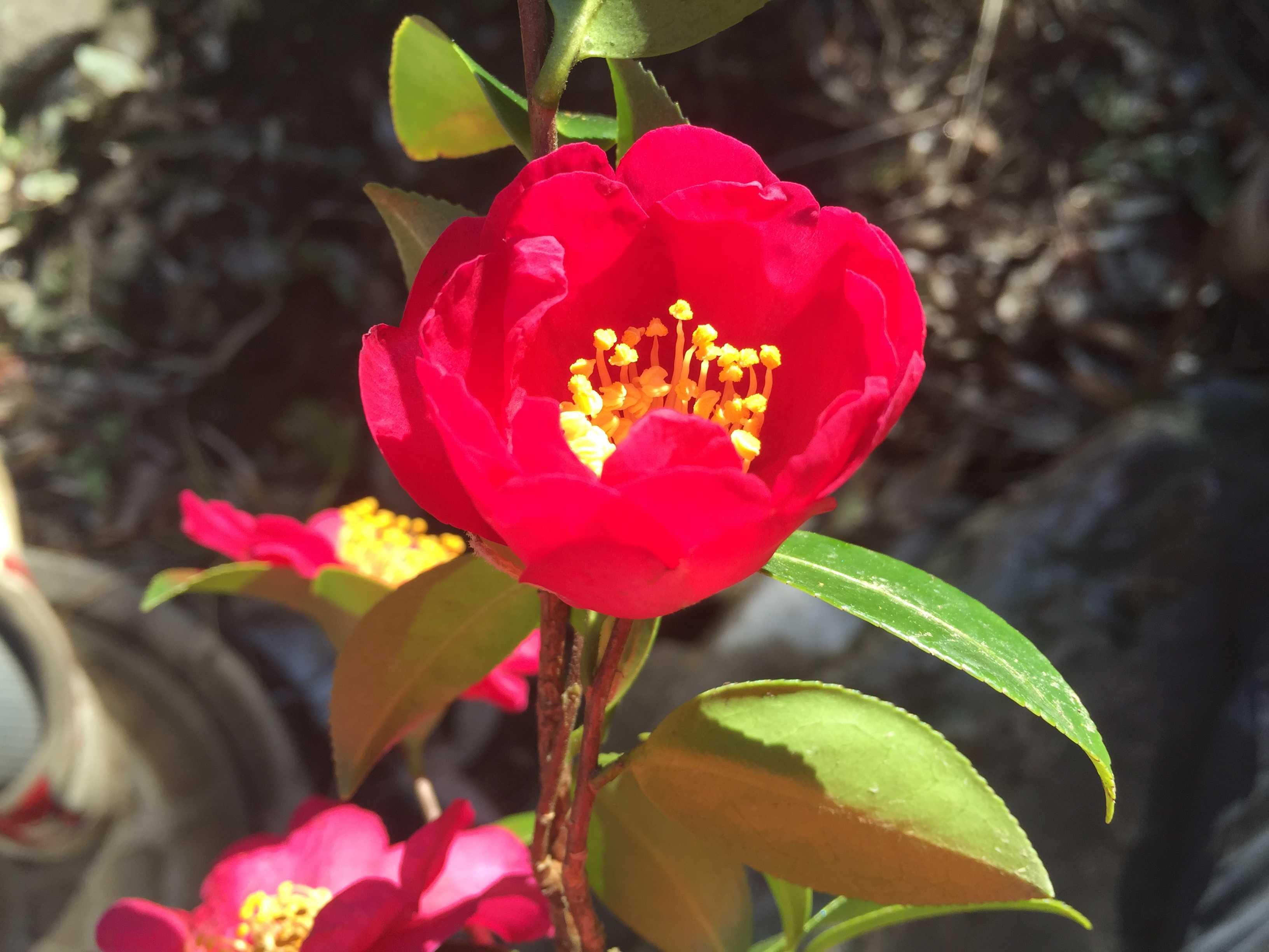 サザンカの花