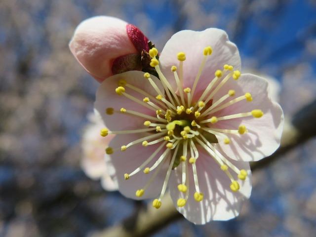 咲き誇る淡いピンク色の紅梅
