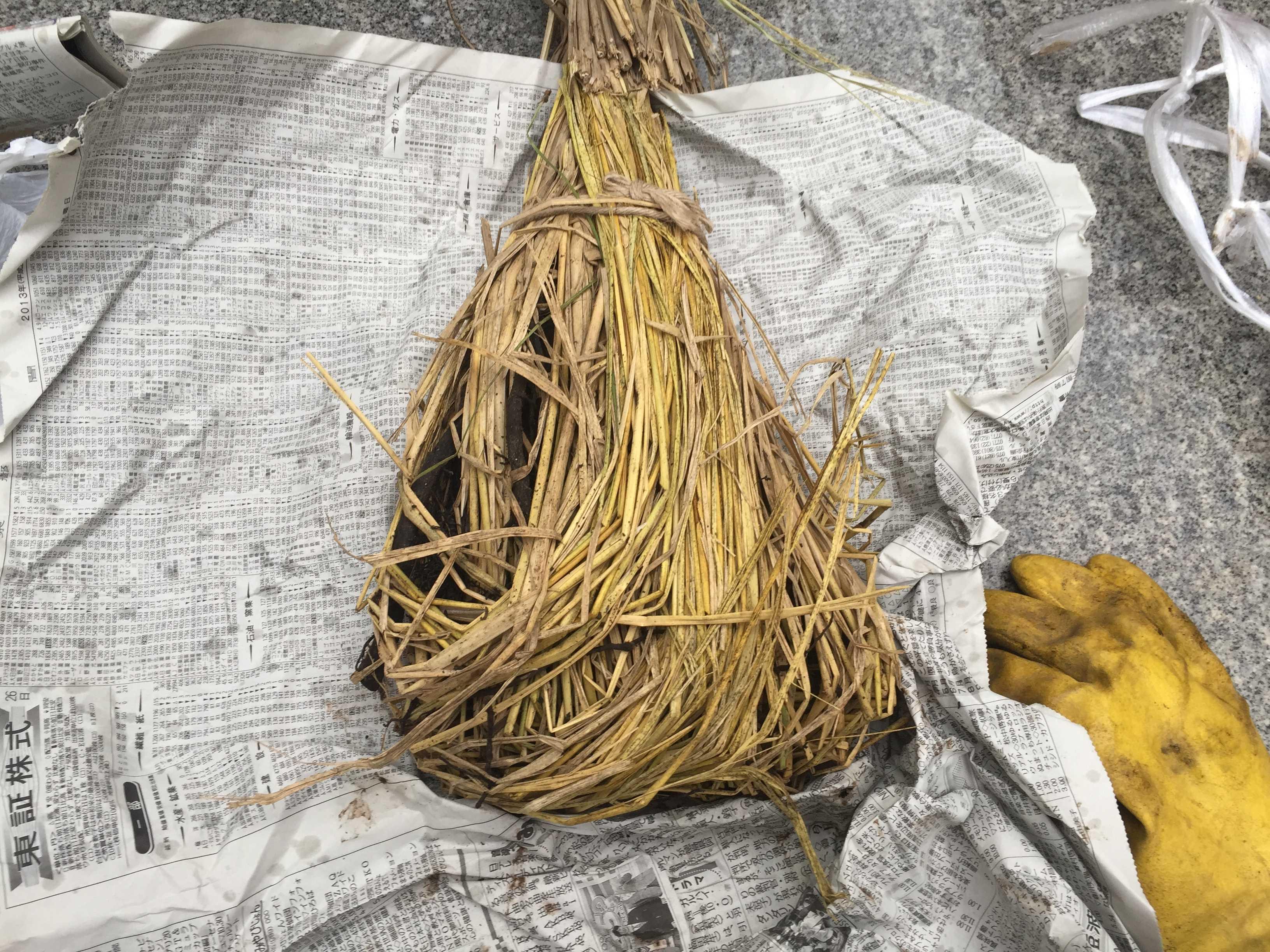 禅寺丸柿の苗木の根っこ