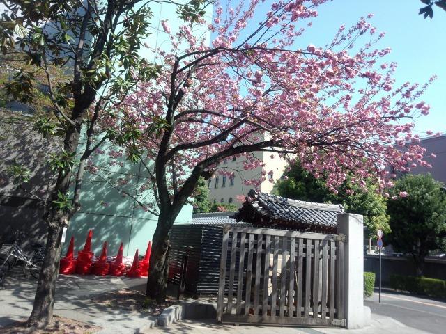 靖国の八重桜