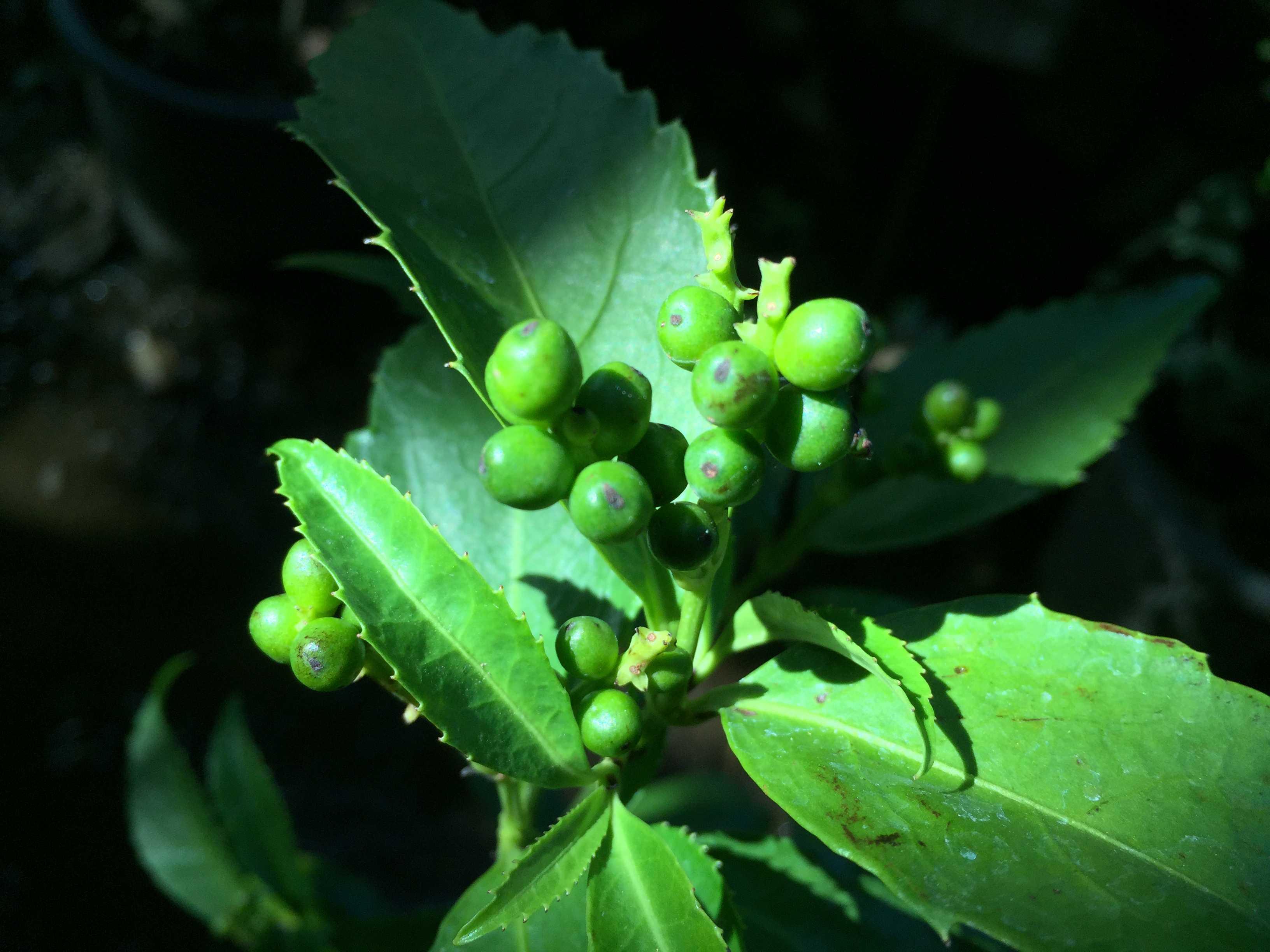 鮮やかな緑色の黄実千両(キミノセンリョウ)