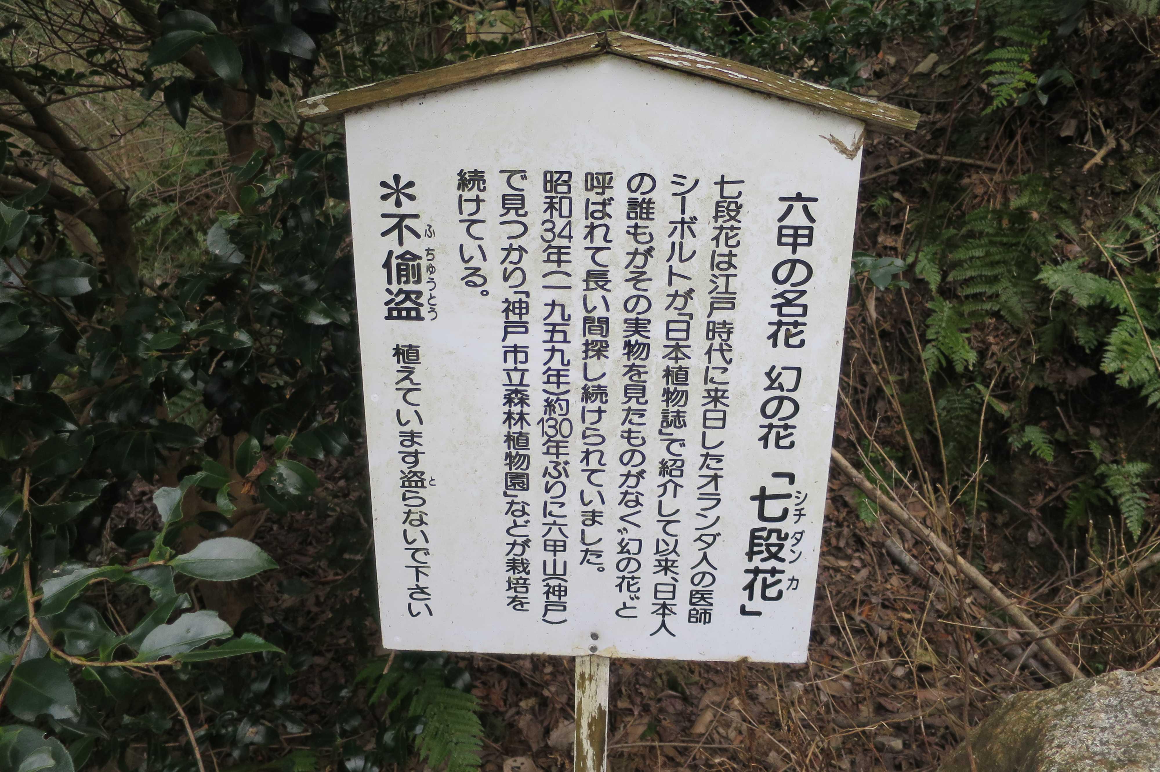 七段花(シチダンカ)