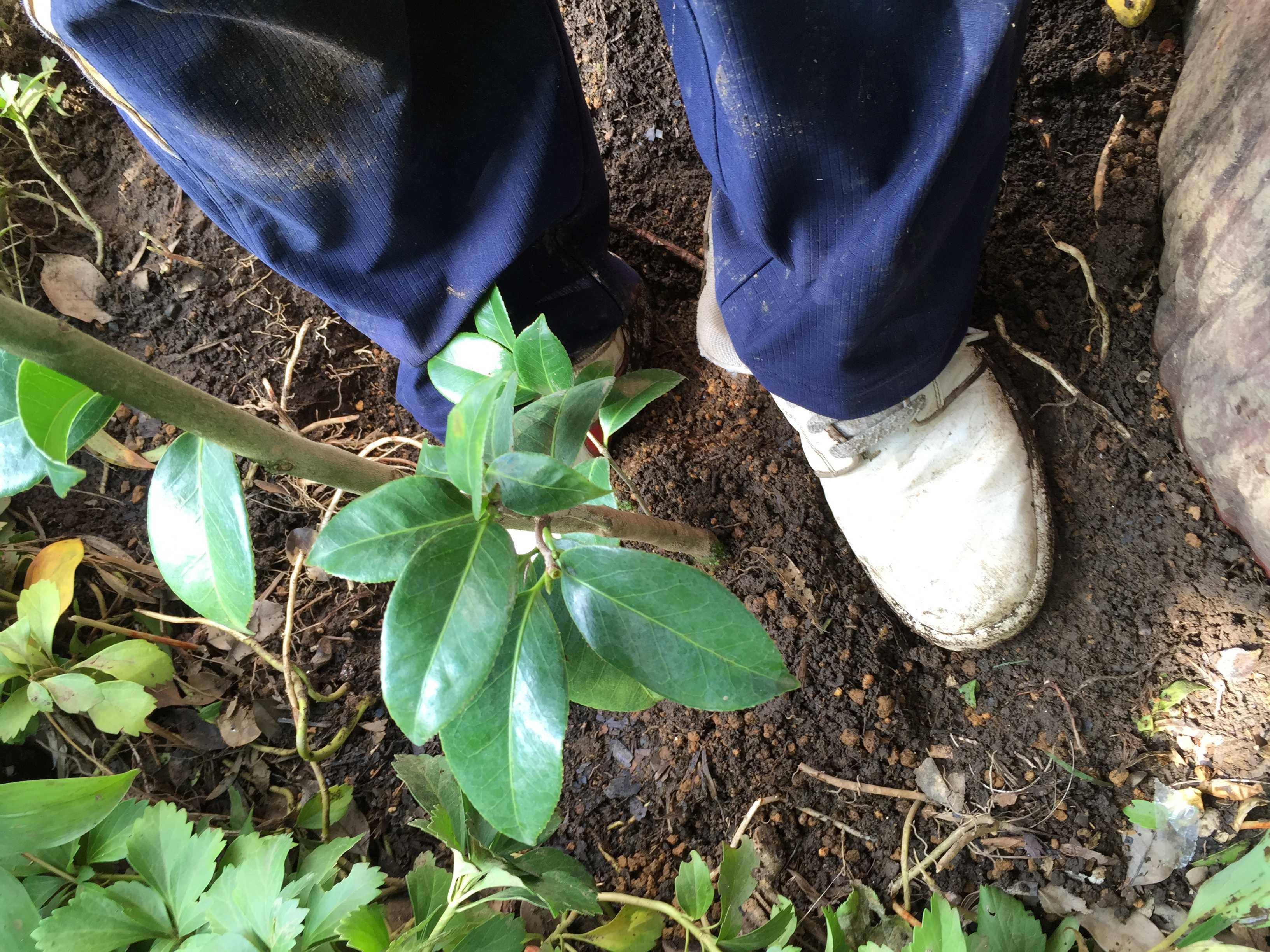 植え穴に固定するため踏みつけられる淡乙女の土