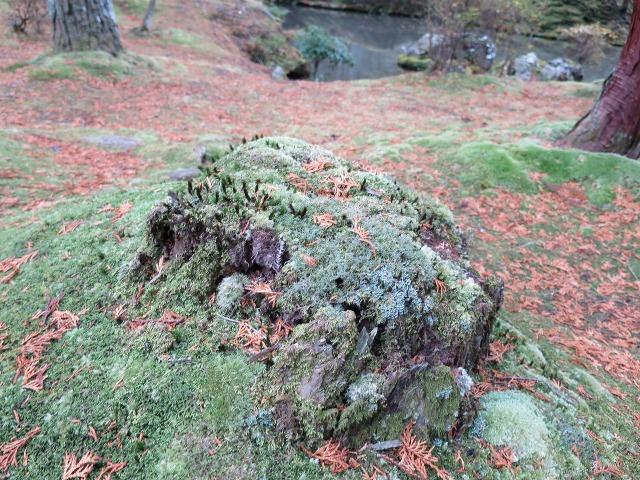 苔寺(西芳寺)の切り株の苔