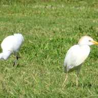 アマサギ Cattle Egret