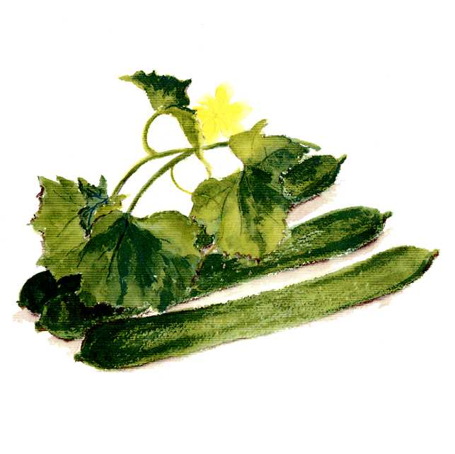 キュウリ,野菜の花,水彩画,イラスト,素材,食材,食べ物