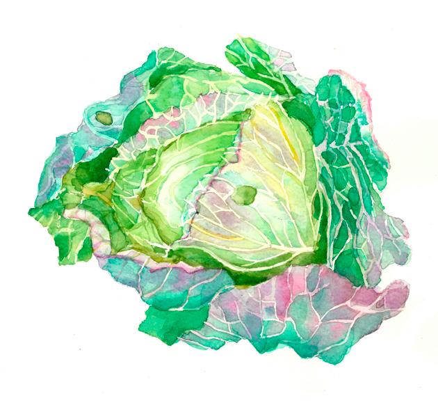 キャベツ,有機野菜,春,高塚由子,Yoshiko,Taaktsuka,水彩画,Watercolor,イラスト,素材,食材,食べ物