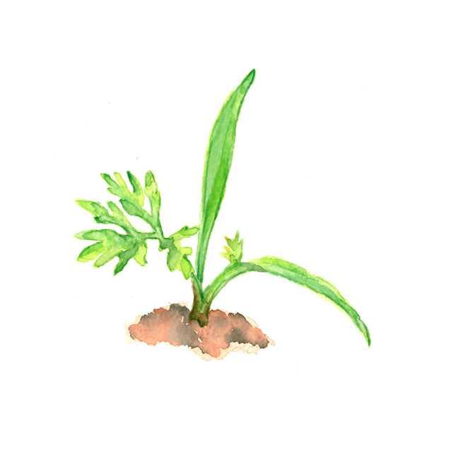 ニンジン,人参,発芽,新芽,野菜,高塚由子,Yoshiko,Taaktsuka,水彩画,,素材,食材,食べ物
