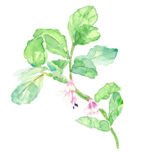そら豆の花, 野菜の花, 農家, 春, 高塚由子,Yoshiko,Taaktsuka,水彩画,イラスト,素材