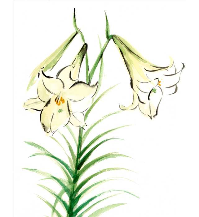 白ユリ,花,春,植物,水彩画,イラスト,素材