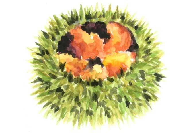 エゾバフンウニ,水彩画,イラスト,ウニ,素材,食材