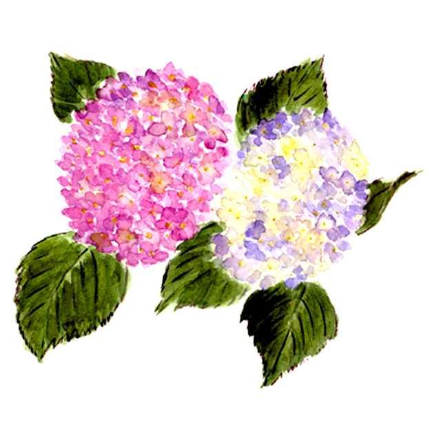アジサイ,紫陽花,花,初夏,植物,水彩画,イラスト,素材