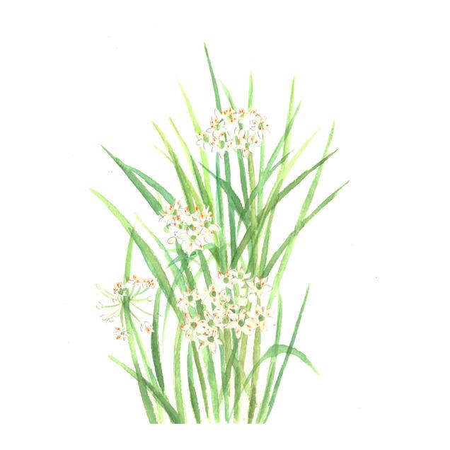 花韮, ハナニラ, 野菜の花, 食べ物, Yoshiko,Taaktsuka,水彩画,イラスト,素材,食材,食べ物