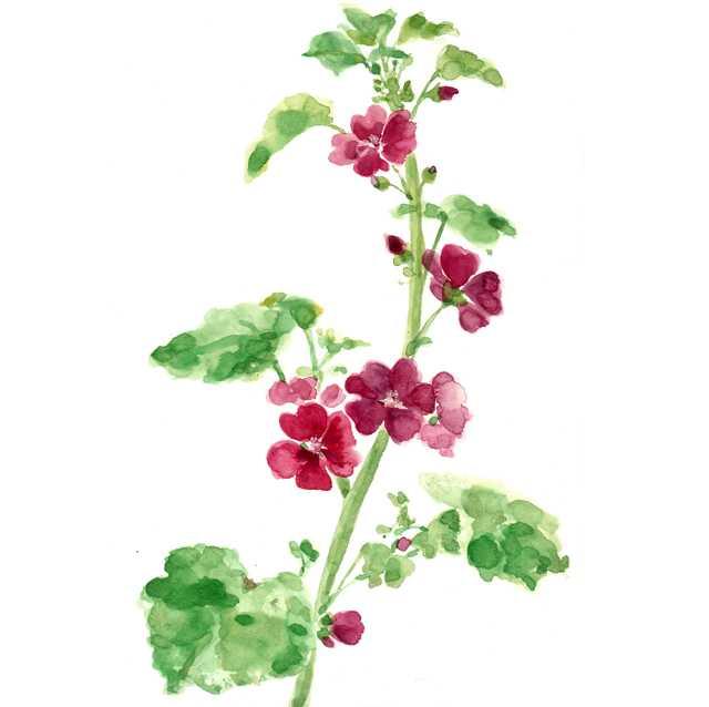 ゼニアオイ,花,夏,植物,水彩画,イラスト,素材