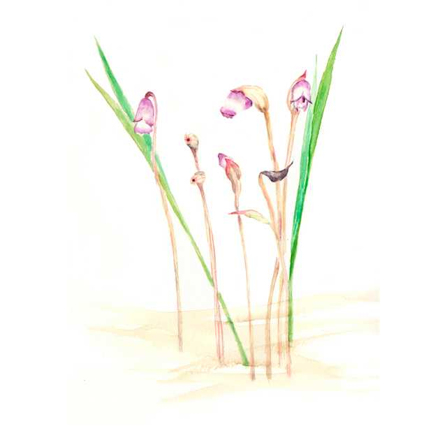 南蛮キセル,寄生植物,高塚由子_Yoshiko,Taaktsuka,水彩画,イラスト