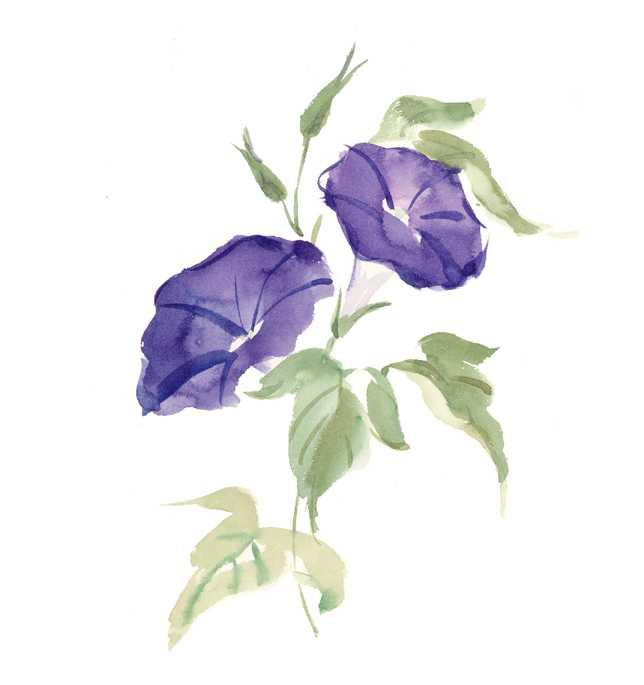 仕事絵,アサガオ,花,夏,植物,水彩画,イラスト,素材
