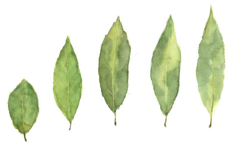 ローリエ,水彩画,イラスト,月桂樹,葉,素材,食材