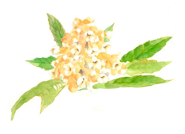 ビワの花,高塚由子,Yoshiko,Taaktsuka,水彩画,Watercolor,イラスト