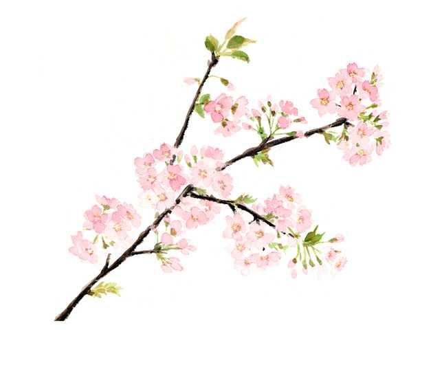 桜, サクラ, 桜前線, 開花,高塚由子,Yoshiko,Taaktsuka,水彩画,Watercolor,イラスト,素材