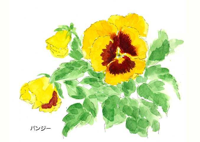 パンジー,水彩画,イラスト,花,植物,素材