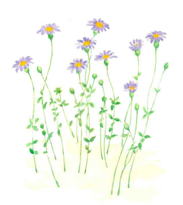 ブルーデイジー,花,植物,水彩画,イラスト