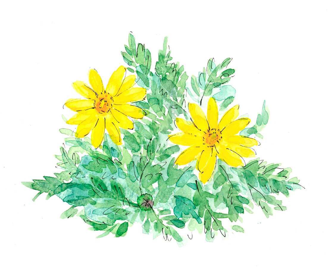 デージー,黄色,花,水彩画,イラスト,春