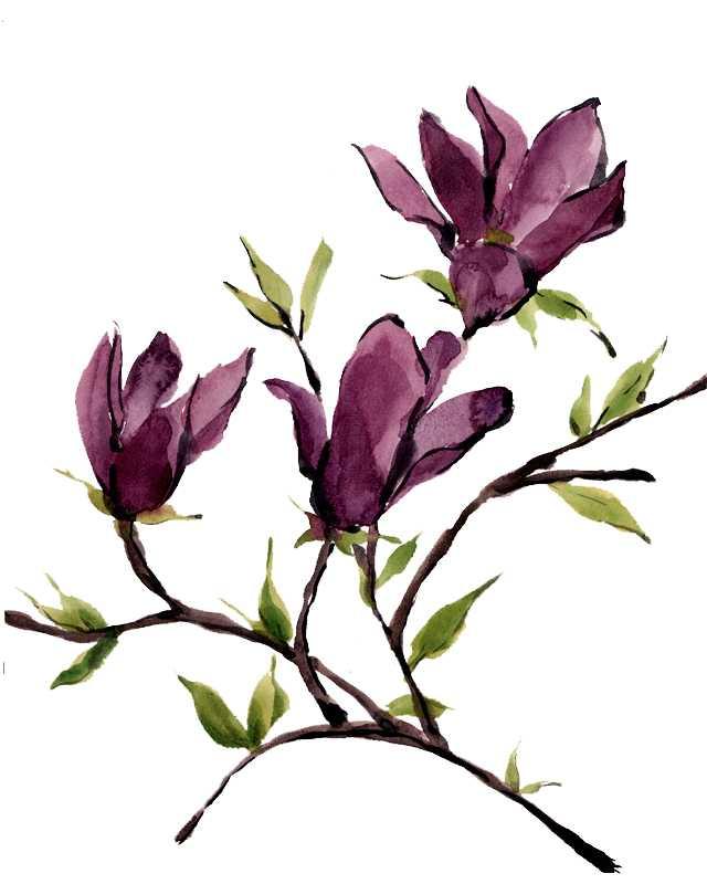 木蓮,水彩画,イラスト,植物,春,花