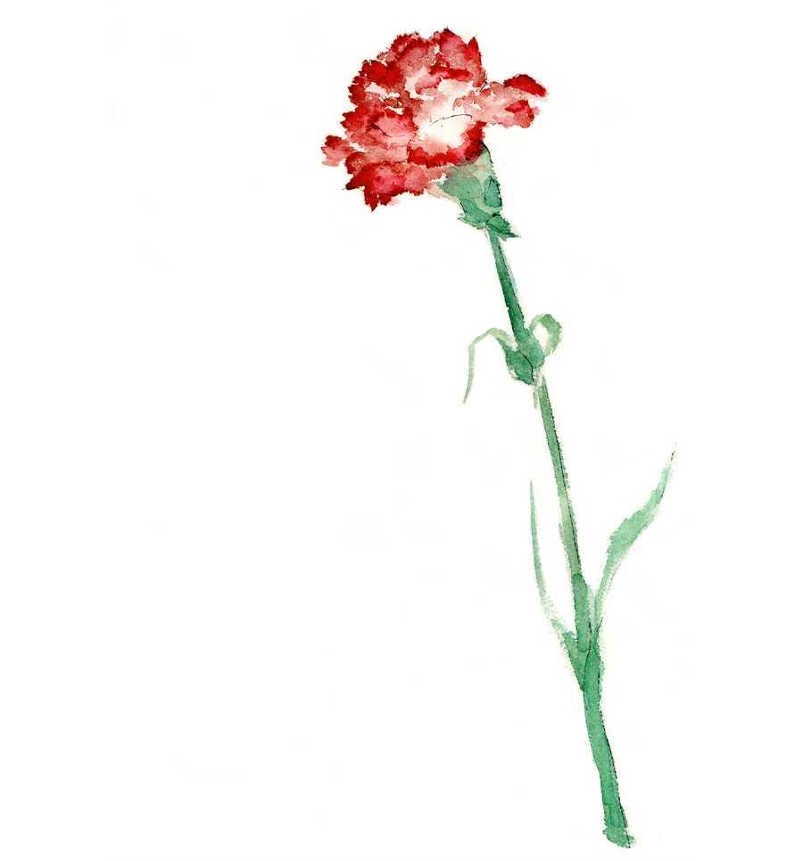 カーネーション,母の日,花,春,植物,水彩画,イラスト