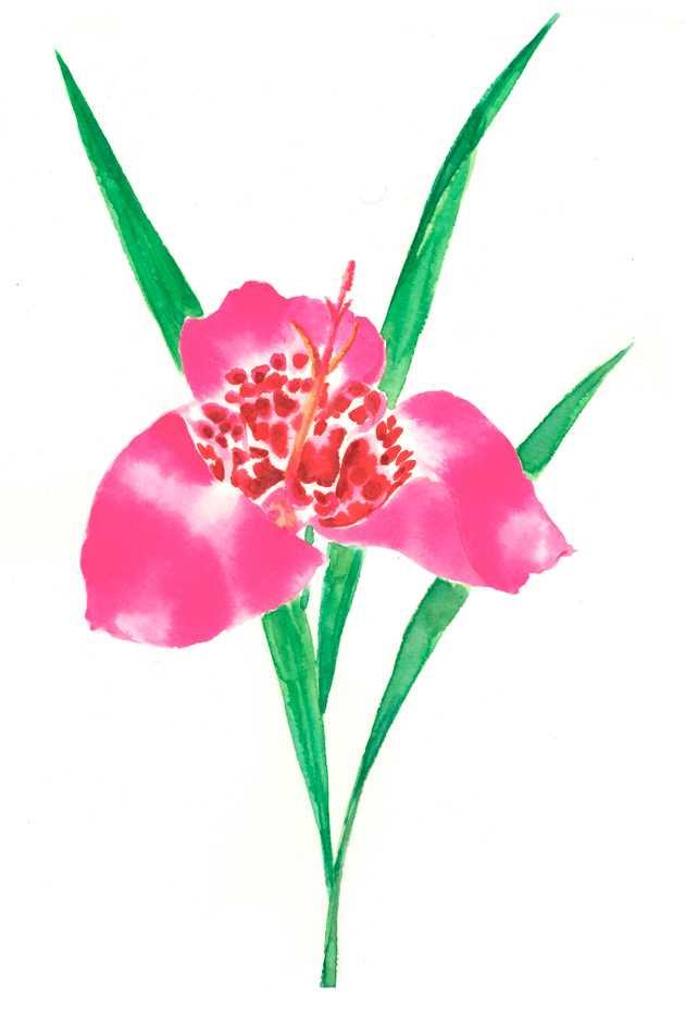 トラフユリ,タイガーリリー,花,植物,水彩画,イラスト