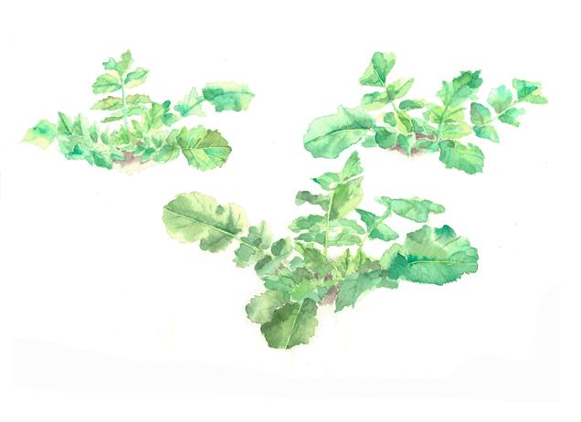 大根, ダイコン, 葉, 畑, 野菜, 春,高塚由子,Yoshiko,Taaktsuka,水彩画,イラスト,素材,食材,食べ物