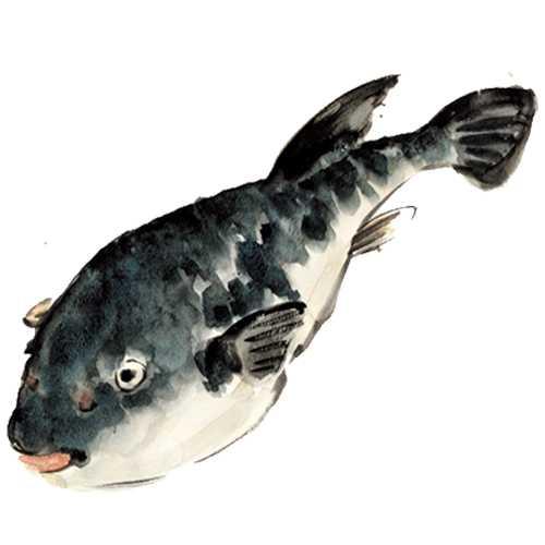 フグ,水彩画,イラスト,魚介,食材,素材
