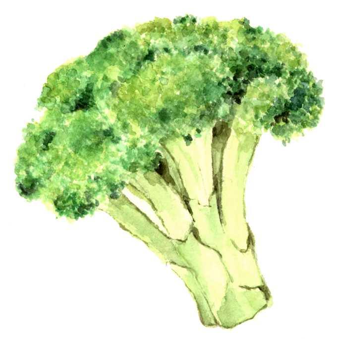ブロッコリー,水彩画,イラスト,野菜,素材,食材