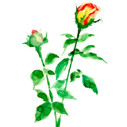 バラ,ローズ,花,植物,春,水彩画,イラスト