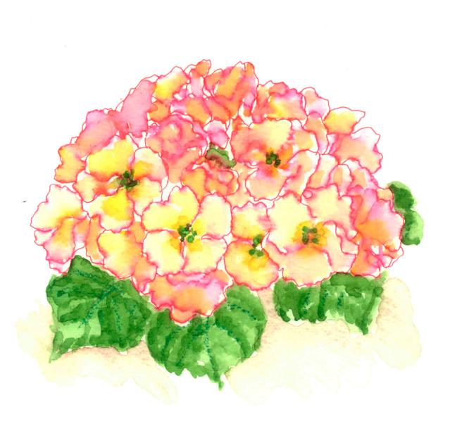 プリムラ,水彩画,イラスト,花,植物