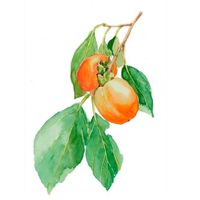 柿,干し柿,収穫,田舎,高塚由子,Yoshiko,Taaktsuka,水彩画,Watercolor,イラスト,素材,食材,食べ物